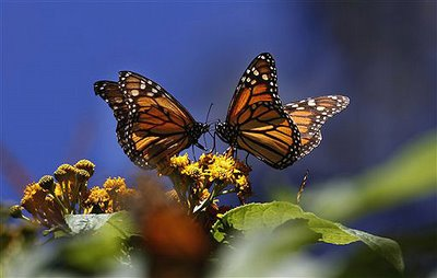butterflies kissing