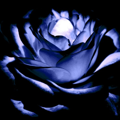 Midnight Blue Rose